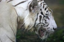 Free White Tiger Stock Photo - 3614490