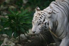 Free White Tiger Stock Photography - 3614492