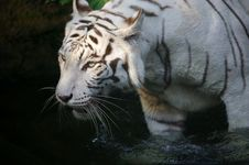 Free White Tiger Stock Photography - 3614502