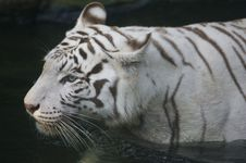 Free White Tiger Royalty Free Stock Image - 3614506