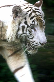 Free White Tiger Royalty Free Stock Photos - 3614548