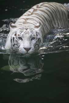 Free White Tiger Royalty Free Stock Images - 3614579