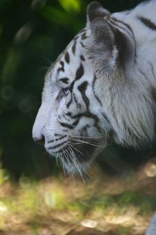 Free White Tiger Royalty Free Stock Photo - 3614585