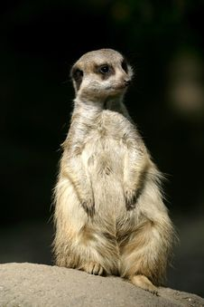 A Meerkat Or Suricate Royalty Free Stock Photo