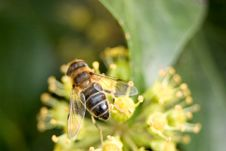 Free Bee On Yellow Flower Royalty Free Stock Images - 3617519