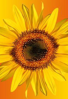 Free Sunflower Beauty Stock Photo - 3618950