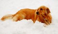 Free Golden Retriever Dog In Snow Royalty Free Stock Images - 36105859
