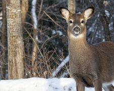 Free Whitetail Deer Stock Image - 36105191