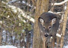 Free Whitetail Deer Stock Image - 36105201
