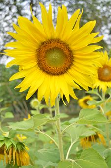 Free Sunflower In The Green Field Stock Image - 36106601