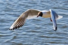 Free Black-headed Gull Royalty Free Stock Images - 36110779