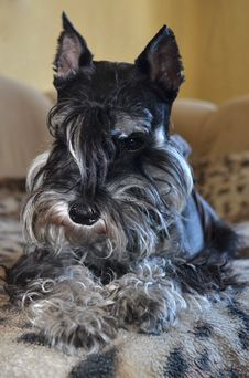 Free Miniature Schnauzer Dog Royalty Free Stock Image - 36111816