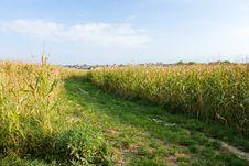 Free Corn Field Stock Photography - 36113782