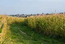 Free Corn Field Stock Photo - 36113900