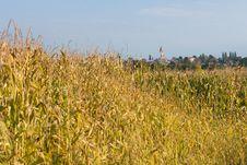 Free Corn Field Stock Image - 36113941