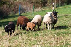 Free Flock Of Sheep Royalty Free Stock Photography - 36114697