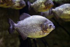 Free Exotic Fish Royalty Free Stock Photography - 36119917
