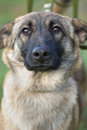 Free Serious Dog Royalty Free Stock Photo - 36124385