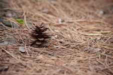 Free Pine Cone In The Wilderness Royalty Free Stock Image - 36125666