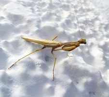 Free Preying Mantis Royalty Free Stock Photos - 36126158
