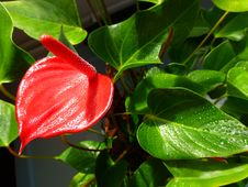 Free Red Flower - Anturium Stock Photos - 36126503