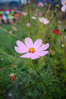 Free Pink Daisy Chamomile Flowers Field Stock Photos - 36128013