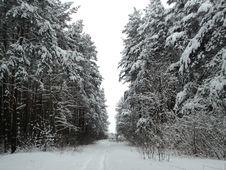 Free Winter Landscape Pine Forest Under Snow Stock Photos - 36130233