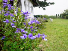 Free Bazilian Snapdragon, Blue Hawaii, Otacanthus Caeruleus Lindl., S Stock Photo - 36133930