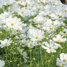 Free Cosmos Flower Stock Photo - 36138430