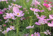 Free Cosmos Flowers Royalty Free Stock Photo - 36138485