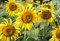 Free Sunflower Stock Photography - 36138572