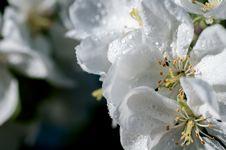 Free Apple Flower Stock Photo - 36140220