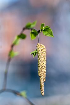 Free Young Birch Leaves Stock Photo - 36140230