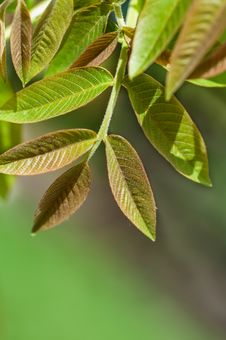 Young Leaves Of The Walnut Tree Royalty Free Stock Images