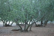 Free The Olive Grove Royalty Free Stock Photography - 36143037
