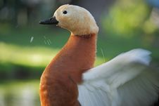 Ruddy Shelduck &x28;Tadorna Ferruginea&x29;. Stock Image