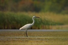 Free Little Egret &x28;Egretta Garzetta&x29;. Royalty Free Stock Photos - 36143278
