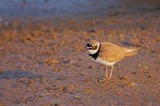 Free Little Ringed Plover &x28;Charadrius Dubius&x29;. Royalty Free Stock Photography - 36143287