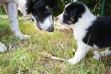 Border Collie Puppy Looking At Mother Eyes Royalty Free Stock Photos