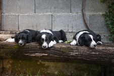 Free 6 Weeks Old Puppies - Border Collie Sleeping On Bench Stock Images - 36143294