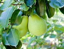 Free Pears Hanging Stock Photography - 36147132