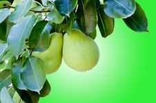 Pears Hanging Stock Photography