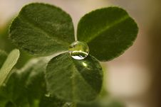 Free Clover With Drop Stock Image - 36147471
