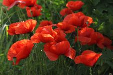 Free Family Of Red Poppies Royalty Free Stock Photo - 36147625
