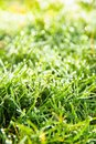 Free Fresh Spring Green Grass Royalty Free Stock Images - 36150599