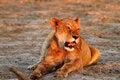 Free Lioness Lazing Stock Photos - 36152863