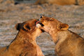 Free Licking Lioness Stock Photography - 36153402
