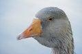 Free Gray Goose. Stock Photo - 36153800