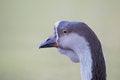 Free Portrait Of A Goose. Stock Photos - 36153813
