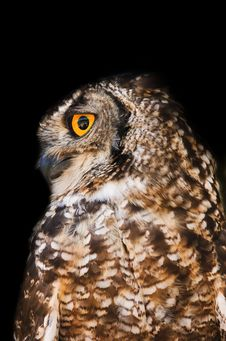 Free Spotted Eagle-Owl Stock Photos - 36152073